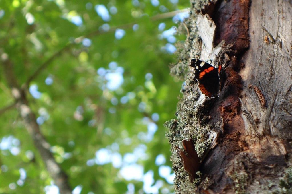Summer Butterfly in Hooperinvuori, 2014.